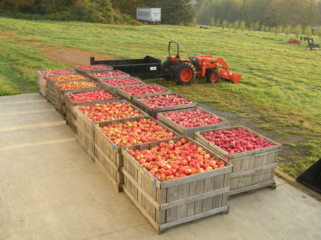 Bins will soon be full as apples near ripening in September; photo courtesy Headwater Cider.