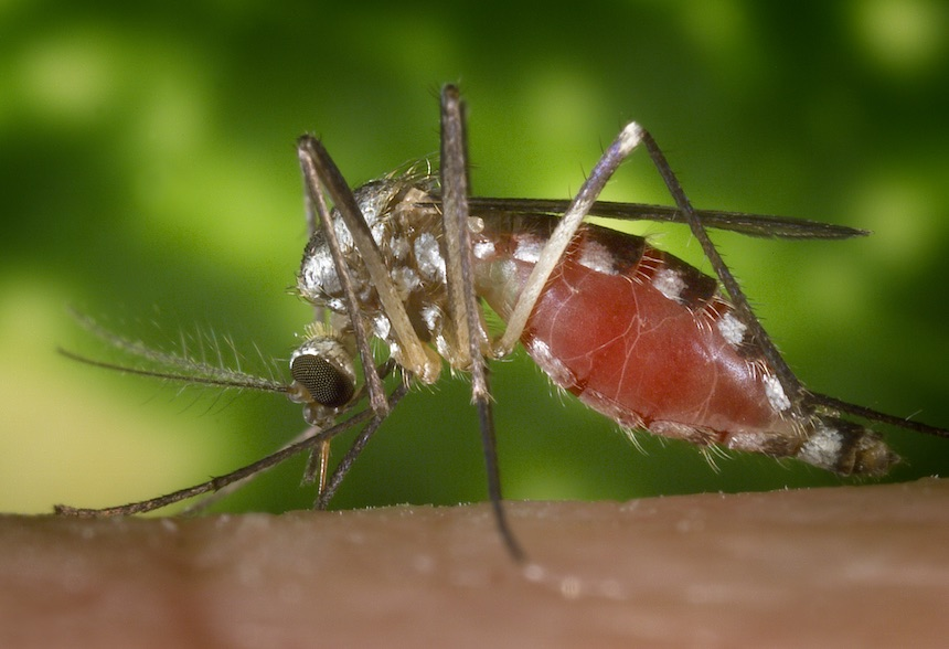 "Ochlerotatus triseriatus mosquito feeding on a human hand. Also known as Aedes triseriatus, and commonly known as the ''treehole mosquito"", this species been identified as positive for West Nile virus. Photo by James Gathany, Centers for Disease Control"
